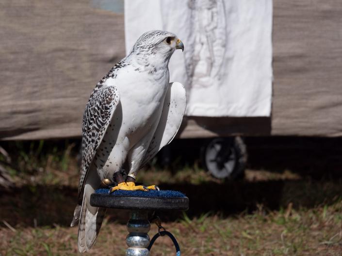 Deer Falcon