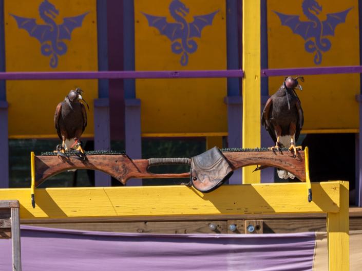 Falconry Mistress Peregrine Falcon