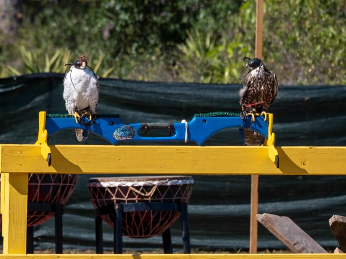 Peregrine & Deer Falcons