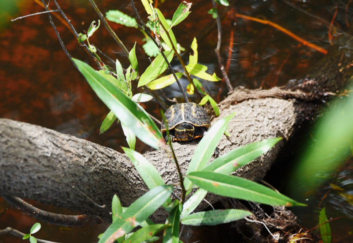 Lake Ashby 023 Lake Ashby Turtle. P1077001